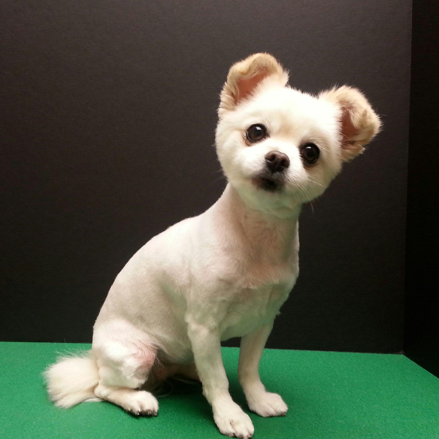 cute chihuahua mix short puppy