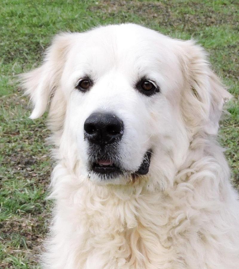 Adopt Preston on Great pyrenees, Dog adoption, Top dog
