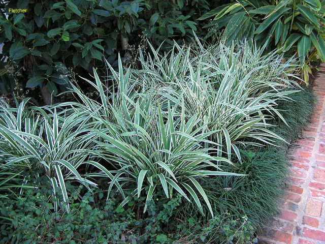 Dianella tasmanica 39 variegata variegated flax lily plant for Variegated grass plant