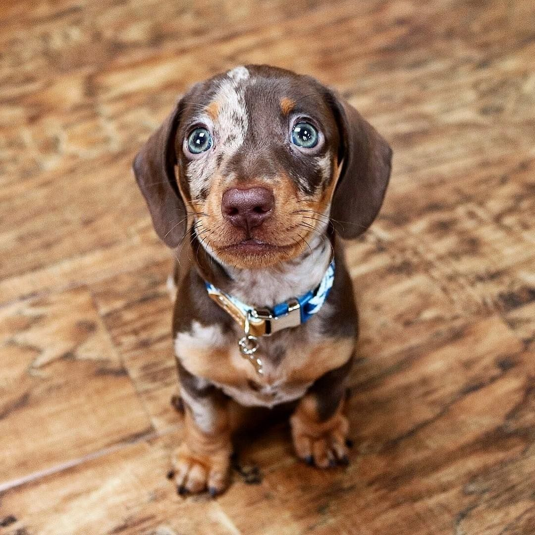 Best Puppy Photo Shoot Ideas Images 147 Dapple Dachshund Puppy