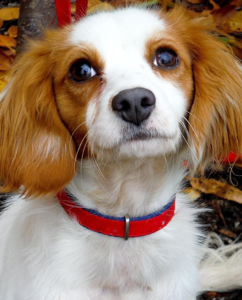 Adopt Watson On Cavalier King Charles Spaniel Poodle Mix Dogs King Charles Spaniel
