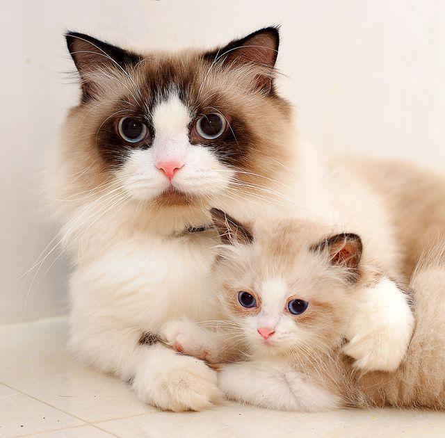 Ragdolls Like Father Like Son D Gatos Bonitos Gatitos