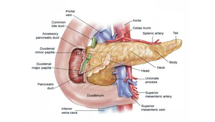Pengertian, Fungsi, Stuktur, Gambar Anatomi dan Penyakit Pada ...