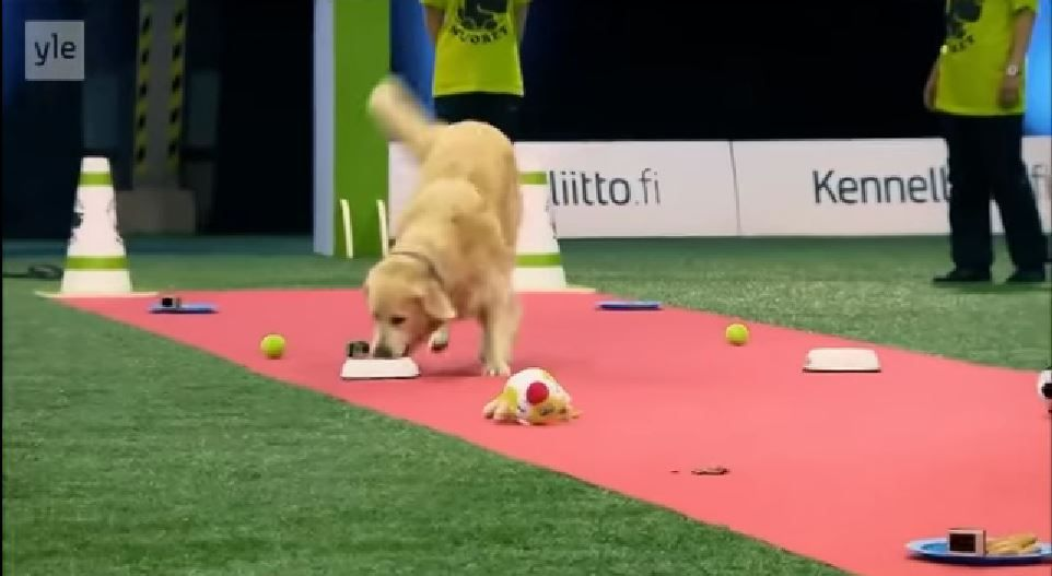 Golden Retriever Promises To Finish Race After These Snacks