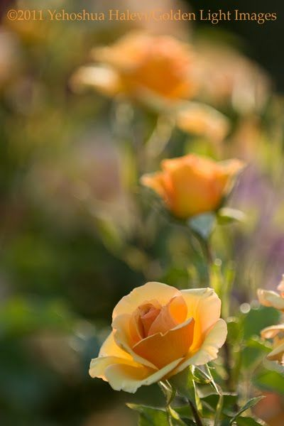 The Wohl Rose Garden In Jerusalem Plant Fungus Rose Flower Cards