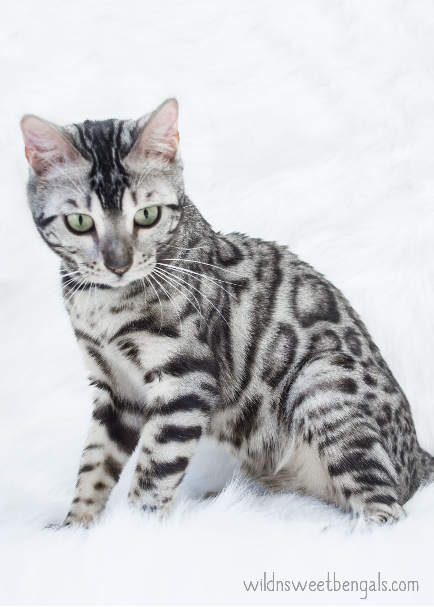 One of our beautiful silver bengal queens at Wild N Sweet Bengals ...