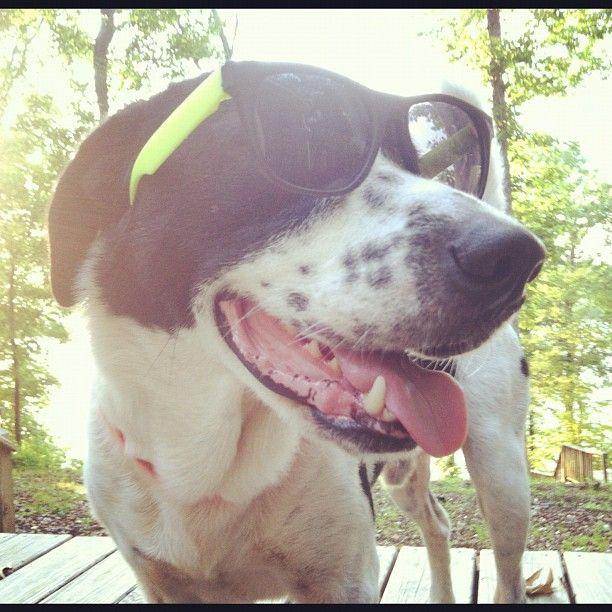 #buddy  #dog  #dogs  #k9  #dogsofinstagram  #instadog  #beautiful  #cute  #puppy  #puppies  #bordercollie  #instagram  #mutt  #sunglasses  #sun  #sunshine  #summer  #lake  #border #collie #pics