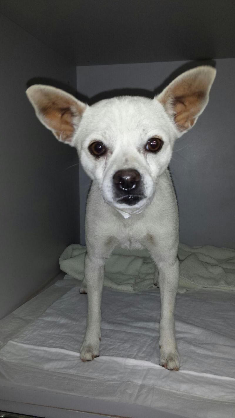 Adopt William On Adoption Home Rescue Chihuahua