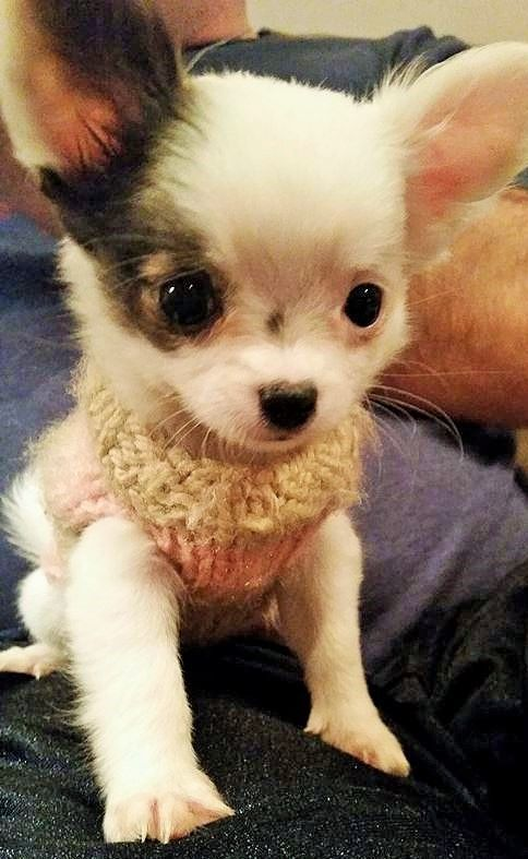 Someone Made This Baby A Sweater Chihuahua Chihuahua Welpen Lustige Tiere Tiere