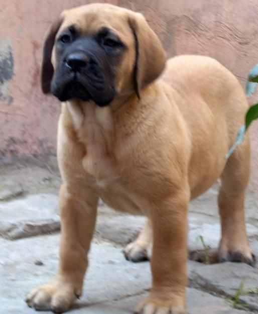 Bullmastiff Dogs For Sale Australia