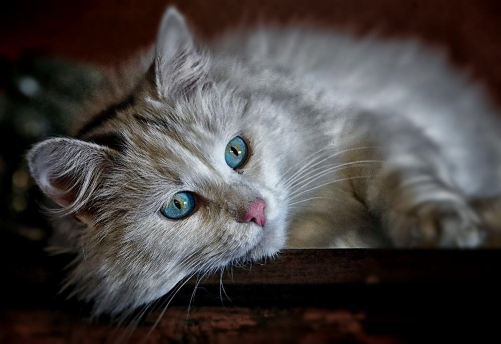 Great Right Cats Catowners Cutecats Cutekittens Catbreeds Kittens Catzloverz Kittens Cutest Cute Cats And Kittens Pregnant Cat