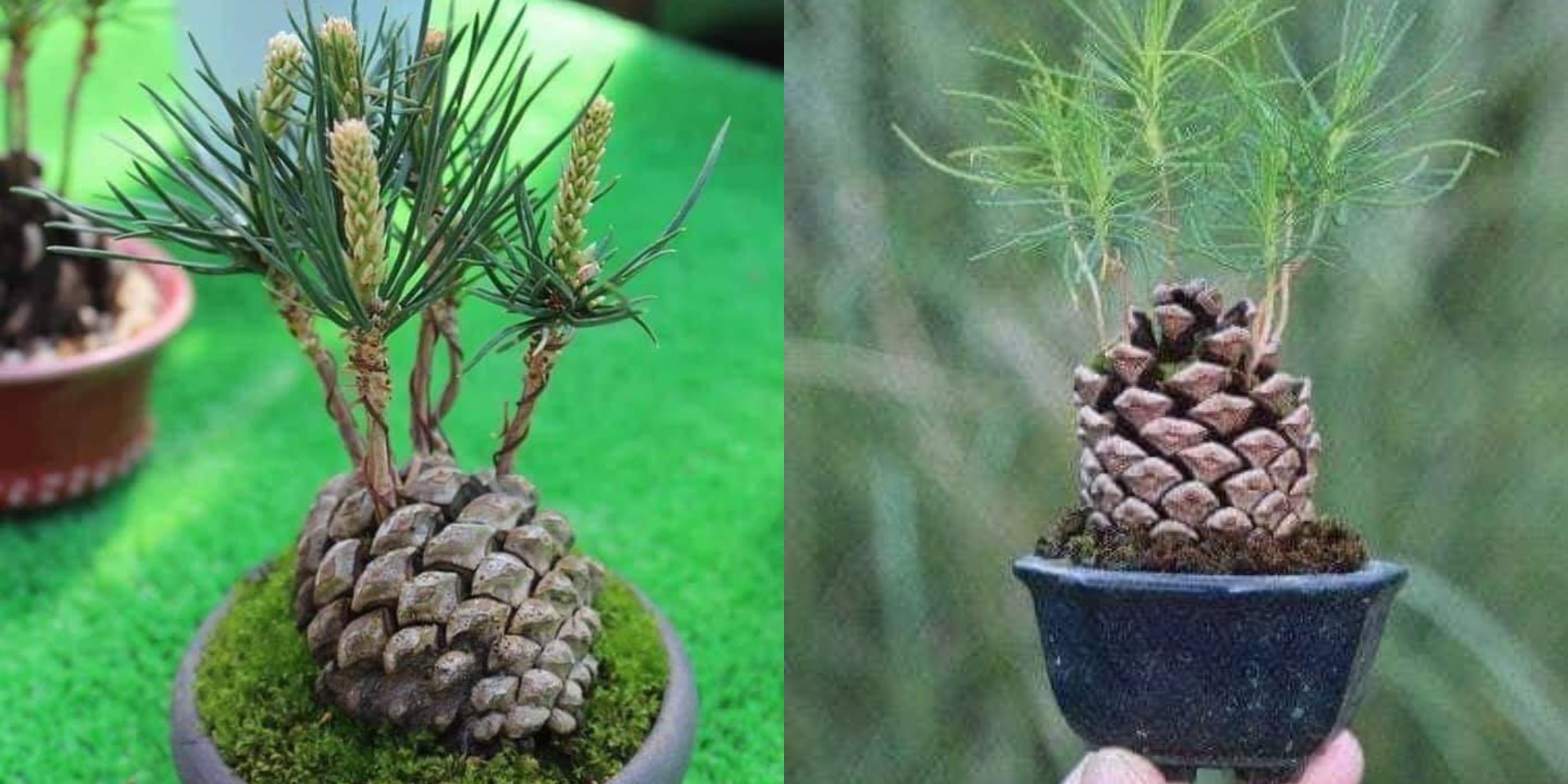 how to plant pine seeds
