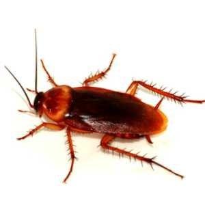 Como Acabar Con La Plaga De Cucarachas Chiquitas Cucarachas Pequenas En Casa Cucarachas Fumigar Cucarachas