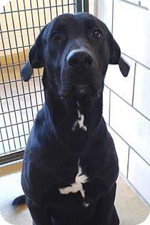 Wooster Oh Great Dane Labrador Retriever Mix Meet Boomer A Dog For Adoption Great Dane Mix Great Dane Labrador Retriever Mix