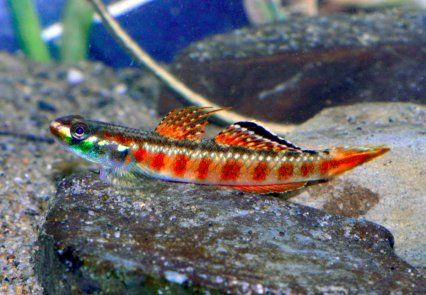 Stiphodon cf rutilaureus collected by heiko bieher in for Freshwater goby fish