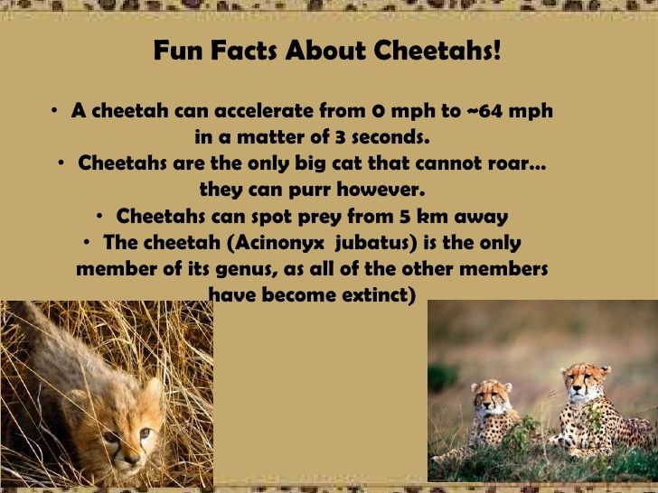 """a description of cheetah and its status as an endangered species Are cheetahs endangered probably the answer is 'yes"""" cheetah, the fastest mammal known for its agility is a sole member of its genus once they roamed around the plains of four continents including asia, europe, africa, and north america about 20,000 years ago."""