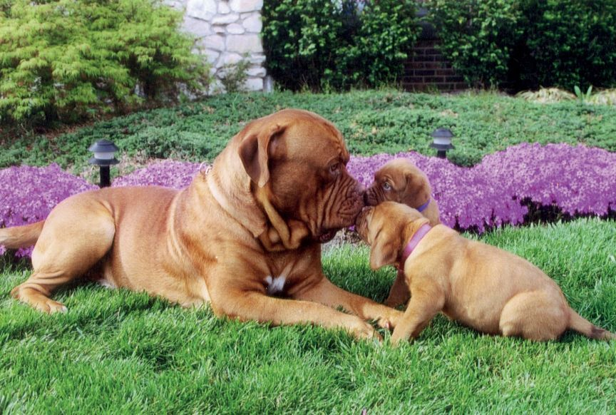 Meet Moses Puppies Dogue De Bordeaux Breed From Melbourne Ky Puppy Catch 22 It S Important To Socialize Your Pup At A Very Dogs Of Page A Day Dog C