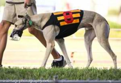Kane Greyhound Dog Greenwood Sc Grey Hound Dog Pets Animal