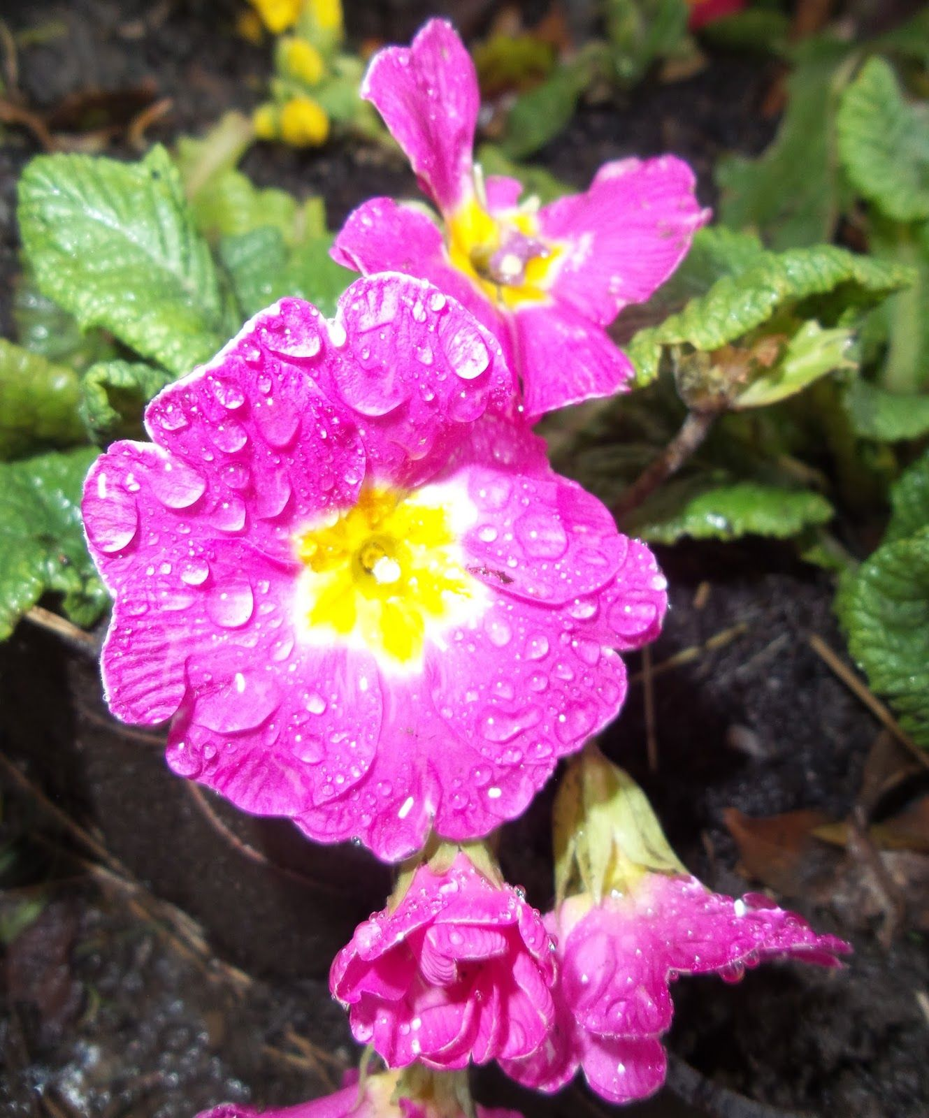 Photo Challenge 30 Bright Pink And Yellow Primrose Perennial Spring