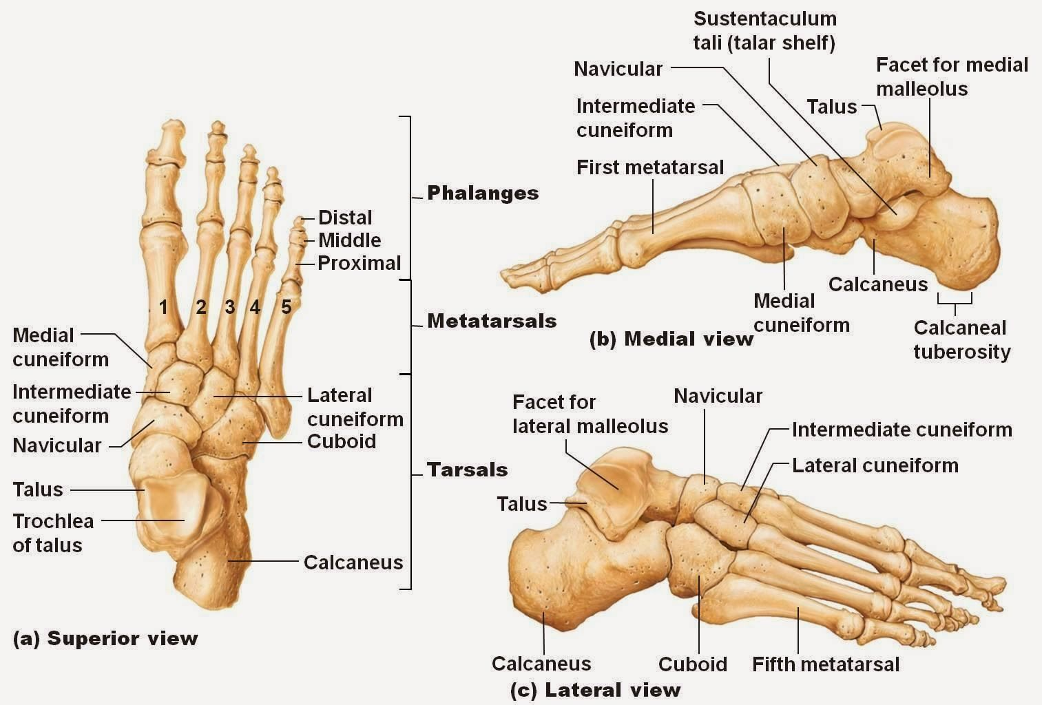 small resolution of ankle bones diagram ankle bones diagram pictures ankle bones diagram anatomy labelled