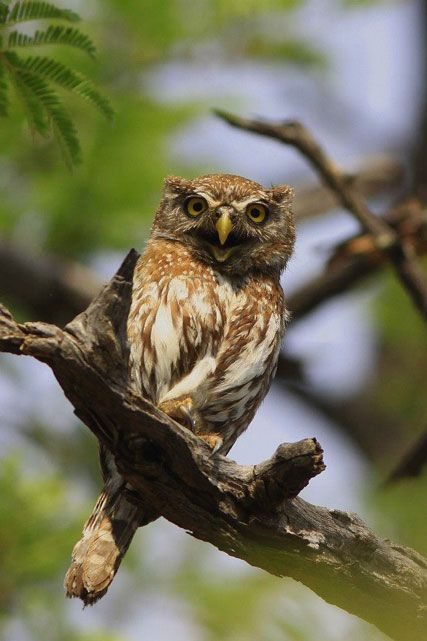 Africa Geographic magazine cover competition - Pearl Spotted Owlet