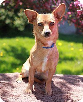 South Haven Mi Chihuahua Corgi Mix Meet Jasper A Dog For