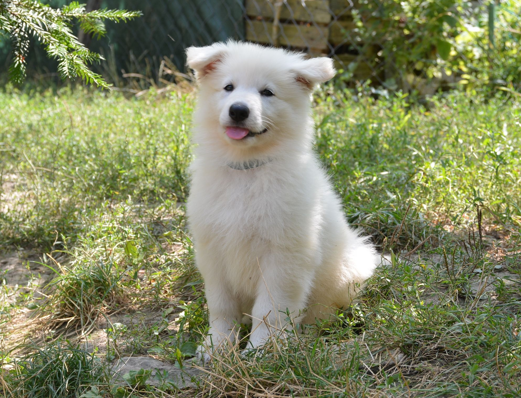 White shepherd puppies for sale bc