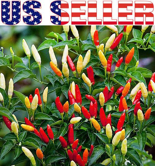 Details about 30+ ORGANICALLY GROWN Tabasco Hot Pepper Seeds