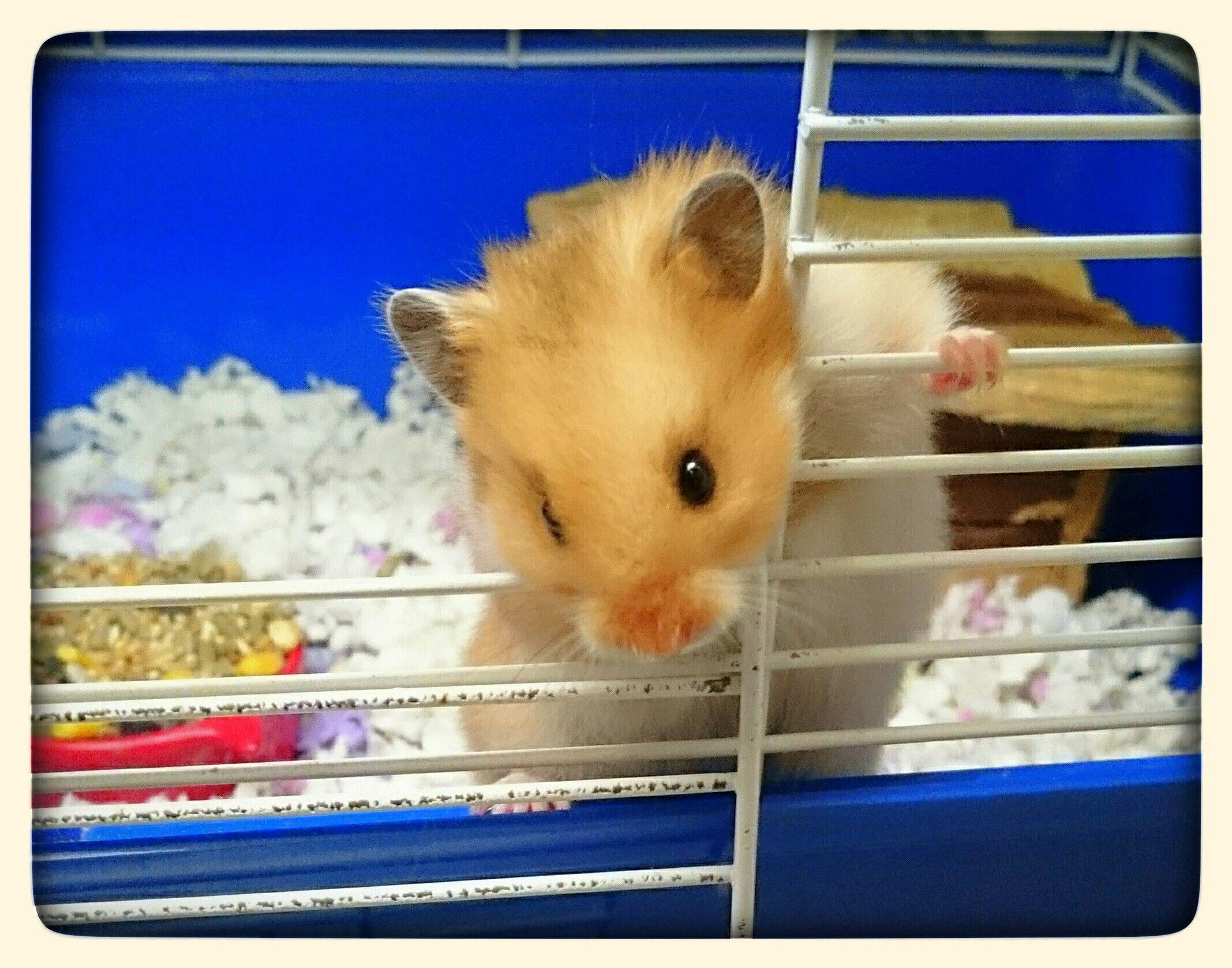 "Golden teddy syrian hamster (""Sandy"" our store hamster"