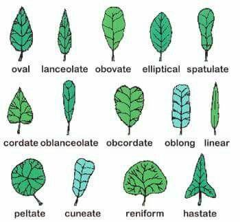 Basic leaf shapes