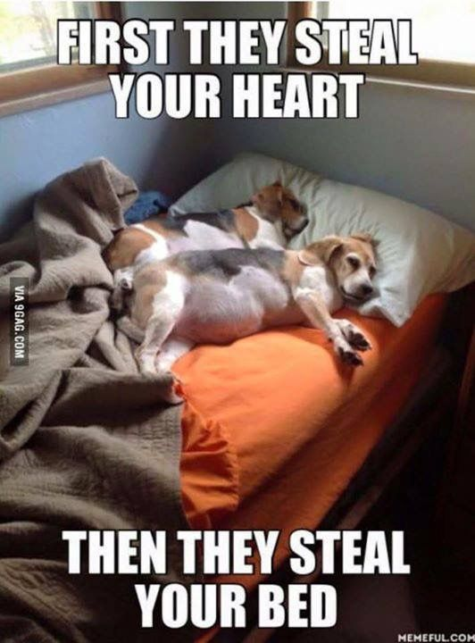 Pin By Zeppelin On The Beagles Funny Animal Pictures Cute Dogs