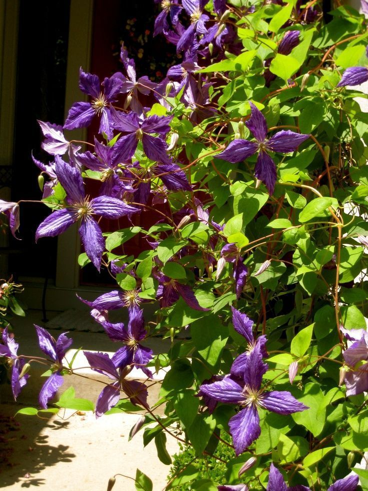 Our tie-dye Clematis which is completely covering a trellis in our walkway to the front door. #walkwaystofrontdoor Our tie-dye Clematis which is completely covering a trellis in our walkway to the front door. #walkwaystofrontdoor Our tie-dye Clematis which is completely covering a trellis in our walkway to the front door. #walkwaystofrontdoor Our tie-dye Clematis which is completely covering a trellis in our walkway to the front door. #walkwaystofrontdoor