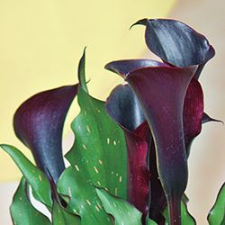 Black Star Calla Lilly. full sun/partial shade. zone 8-10. height 18-30 inches.