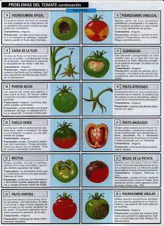 38+ Como se siembra el tomate paso a paso inspirations