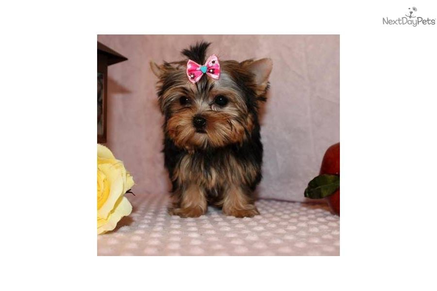 You Ll Love This Female Yorkiepoo Yorkie Poo Puppy Looking For A