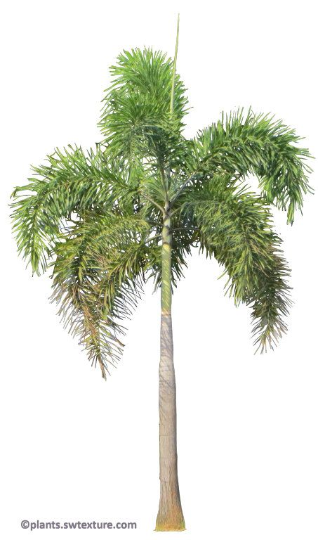Foxtail Plam Visit For Transparent Png Version Plants Plant Pictures Palm Tree Art