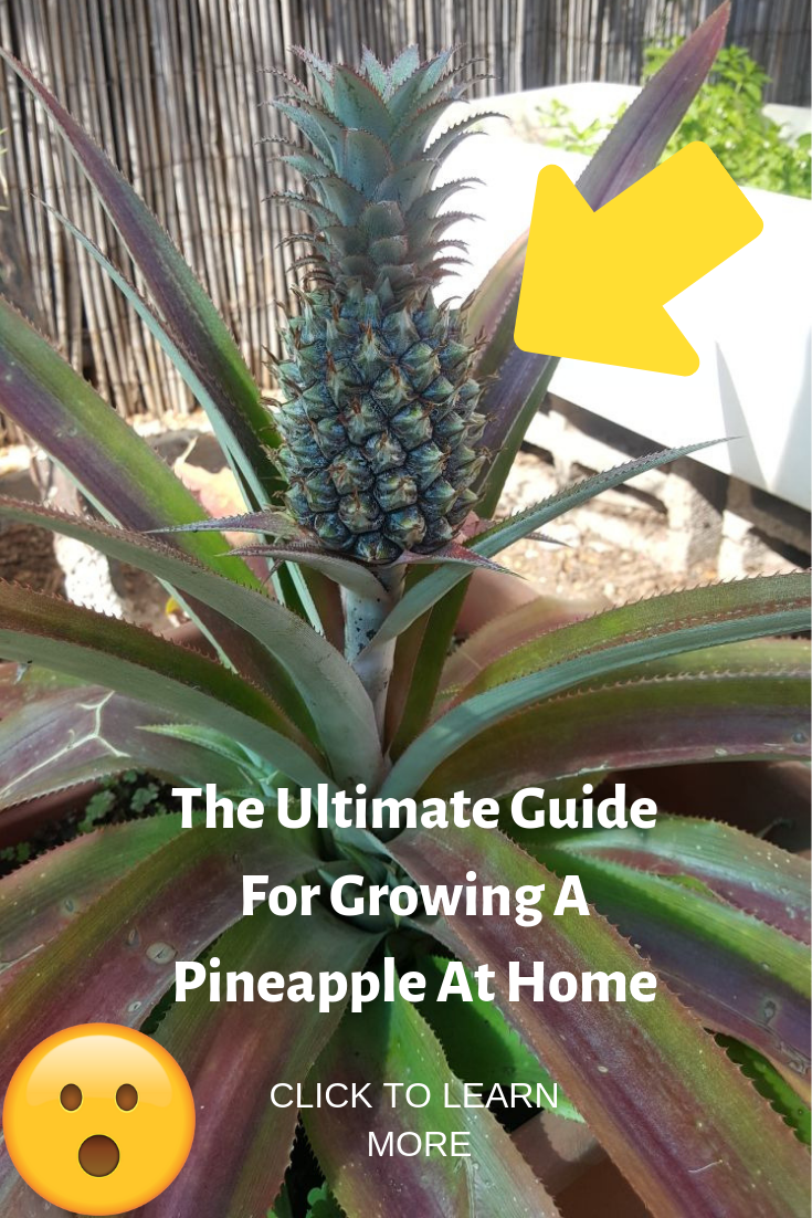 The Ultimate Guide For Growing A Pineapple At Home Pineapple Planting Growing Pineapple Planting Pineapple Top