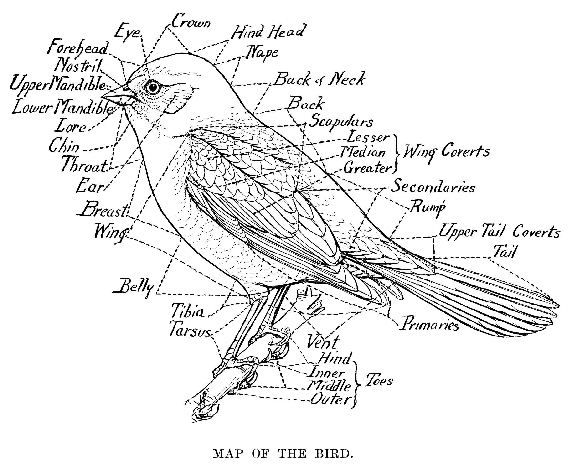 Vintage Bird Clip Art Map Of The Bird Black And White