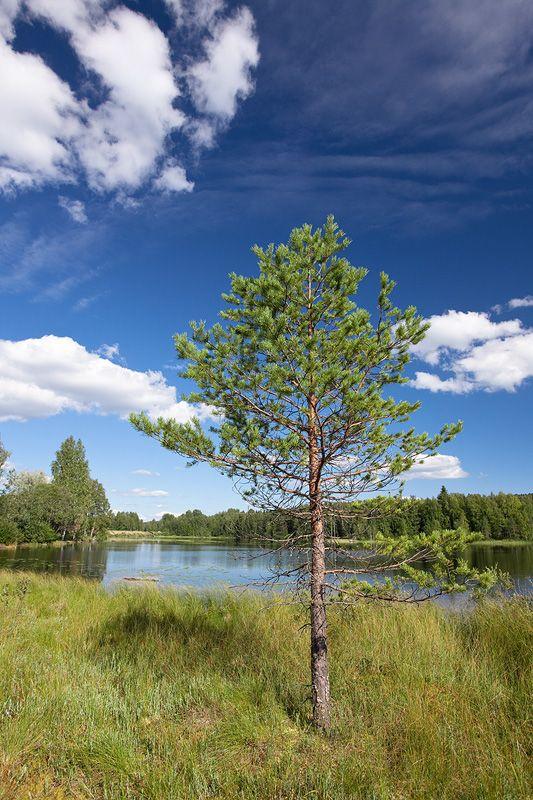 Pine by JuhaniViitanen
