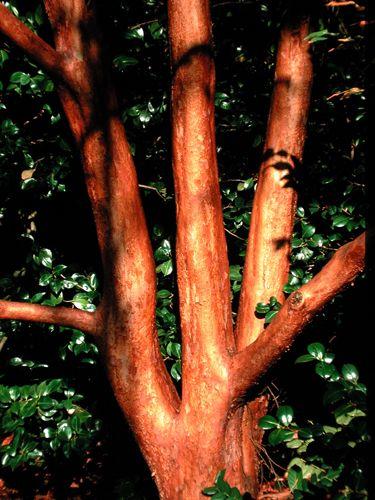 Orange Bark Stewartia 15 30 Ft Tall 8 15 Wide Winter