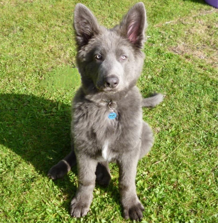 blue German shepherd...Beautiful