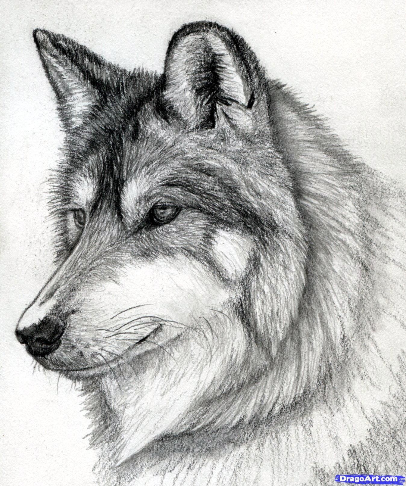 how to draw a wolf head, mexican wolf step 15 | Drawing Ideas ...