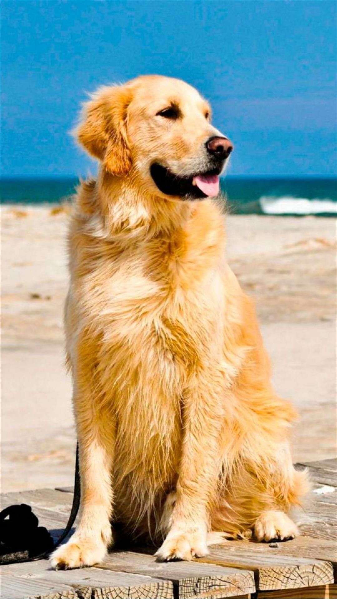 Cute Golden Retriever Beach Android Wallpaper Golden Retriever