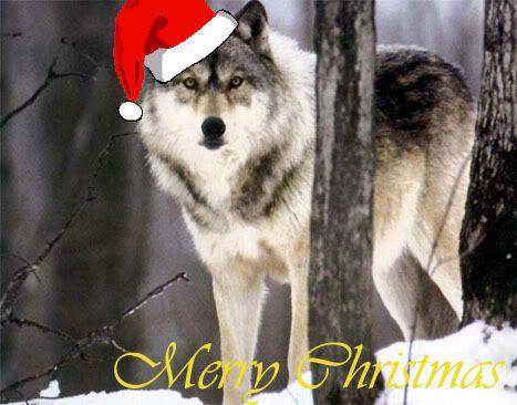 Christmas wolf - christmas Photo   Books   Pinterest   Wolf