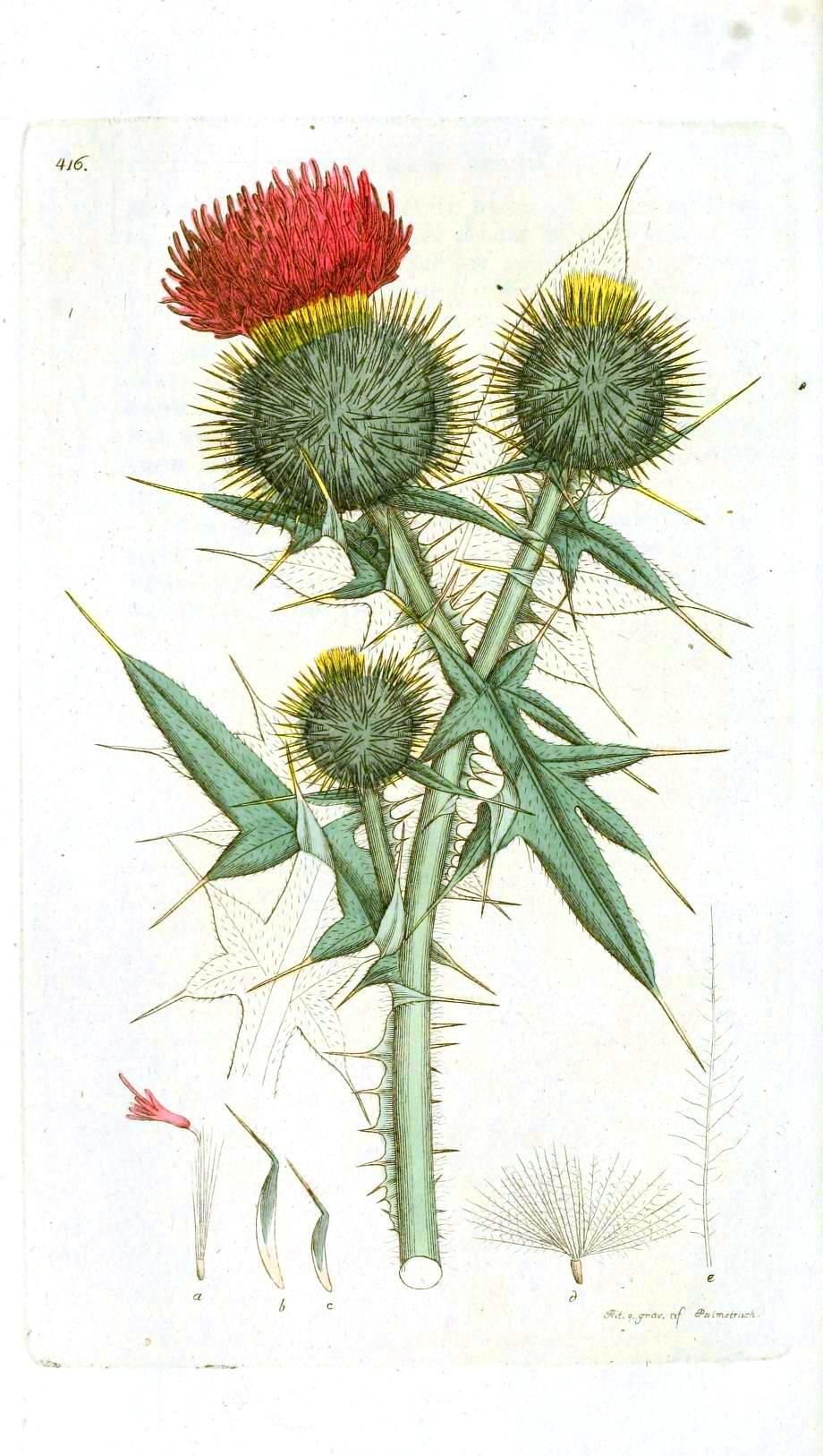 Thistle drawing published april at in botanical