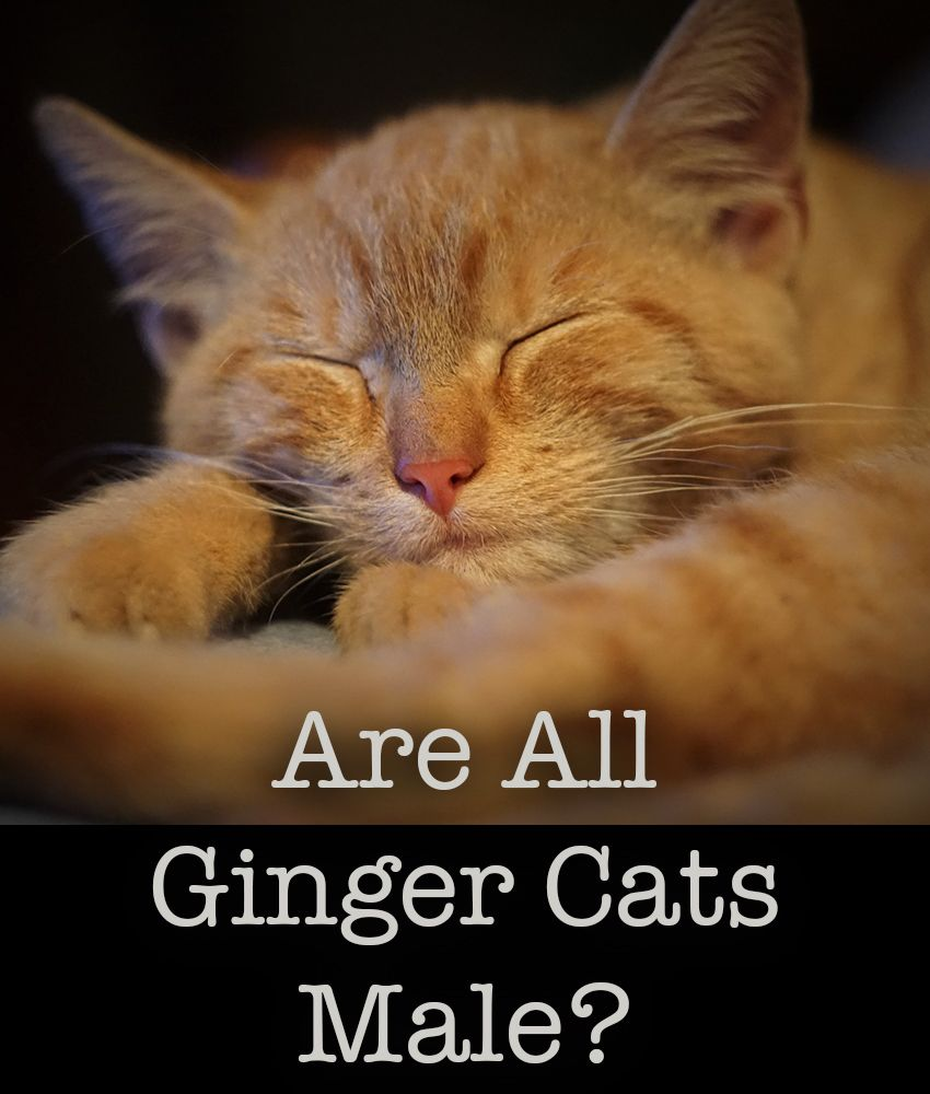 Are All Ginger Cats Male? The Link Between Coat Color and