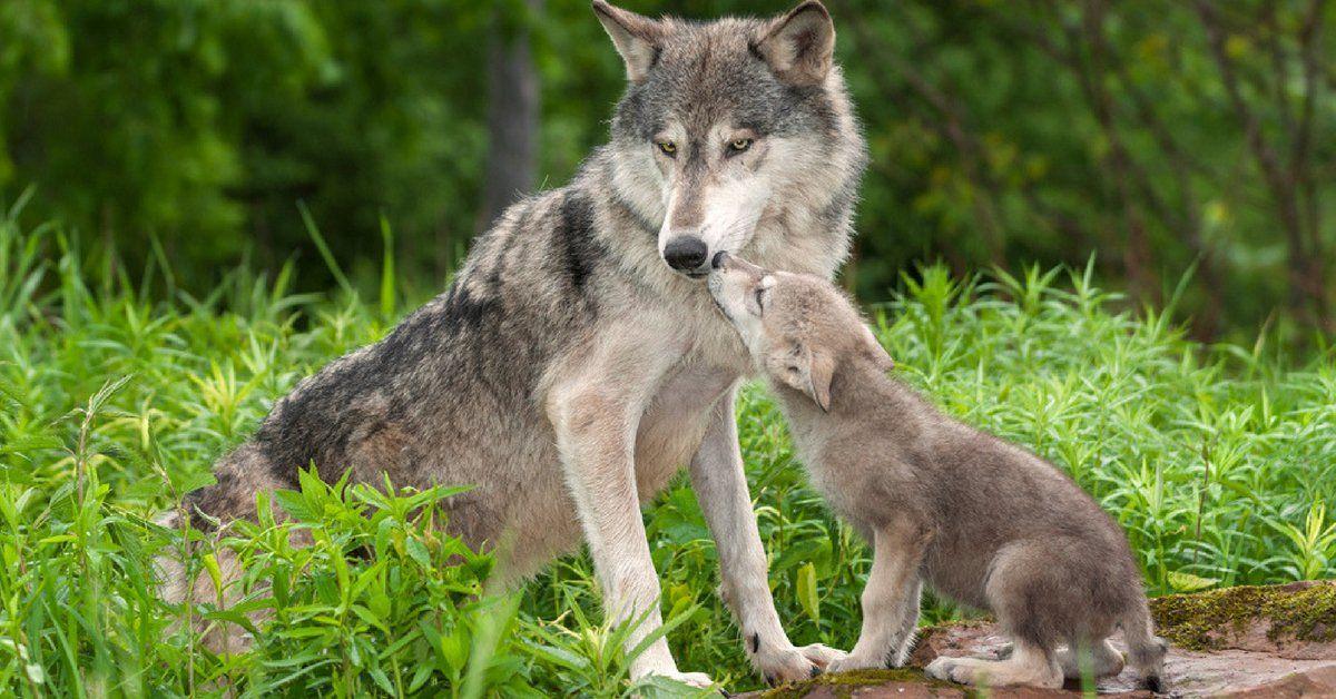 REEA : l'association qui sensibilise les lycéens au retour du loup