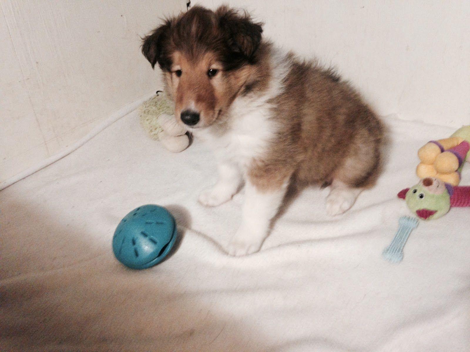 6 Week Old Rough Collie Puppy Rough Collie Rough Collie Puppy