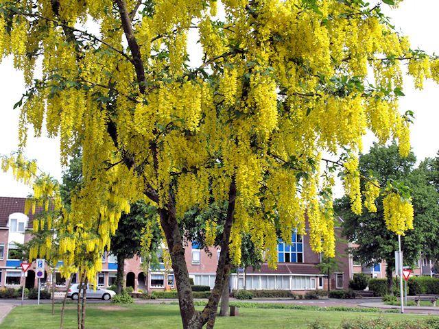 Laburnum (Gouden Regen) or GOLDEN RAIN TREE