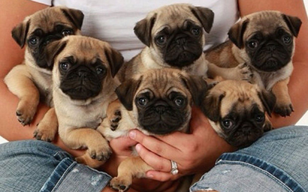 The Daily Cute It S National Puppy Day Baby Pugs Pug Puppies